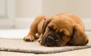 Schlaf - schlafender Welpe